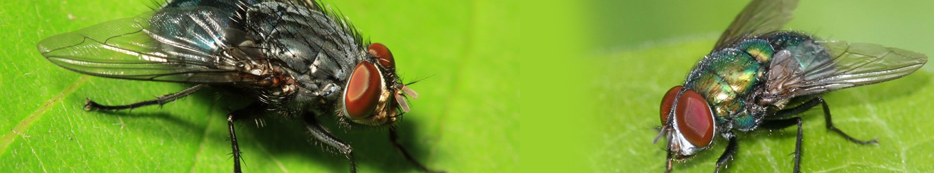 Flies Pest Control Perth Services