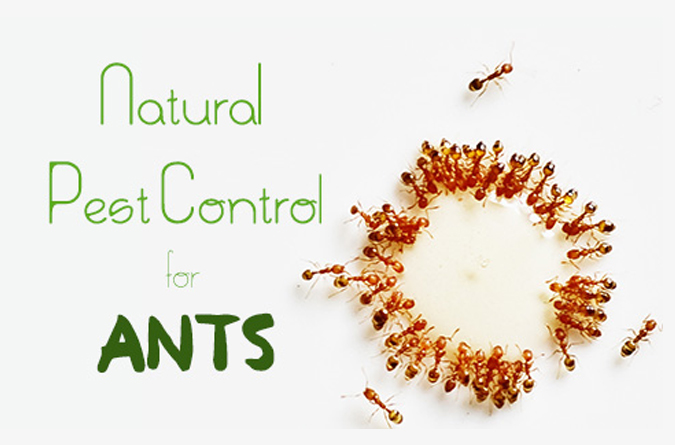 Managing Ants through Ants control services Perth