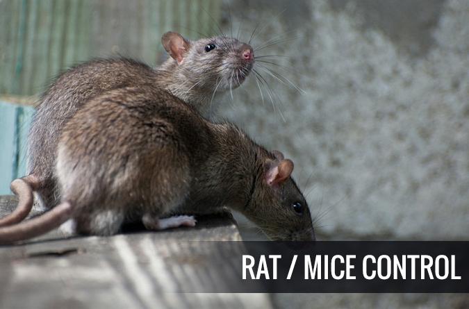 How Rats Control Services in Perth Work